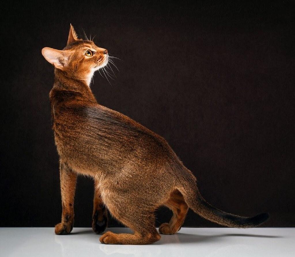 Сколько стоит абиссинская кошка