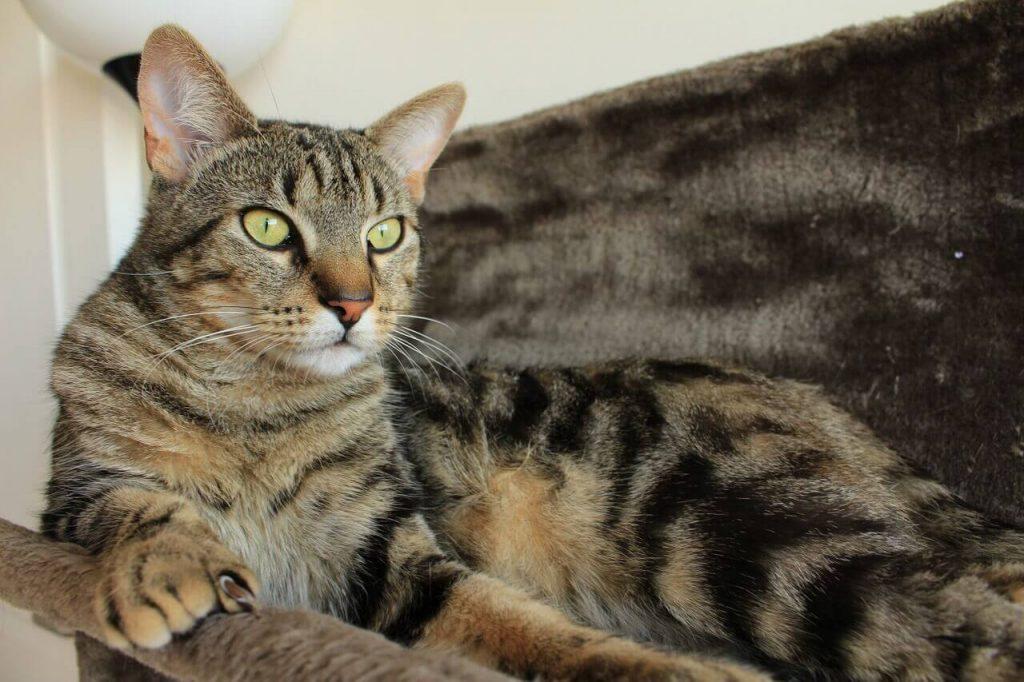Характер азиатской кошки