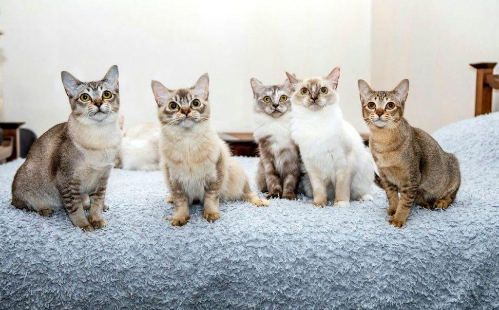 Воспитание котят азиатской кошки