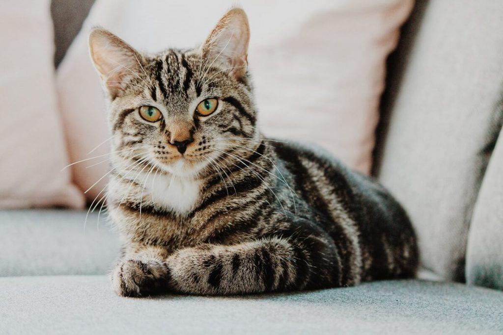 Дрессировка азиатской кошки