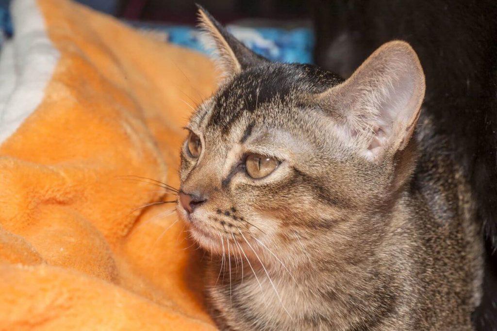 Организация питания азиатской кошки