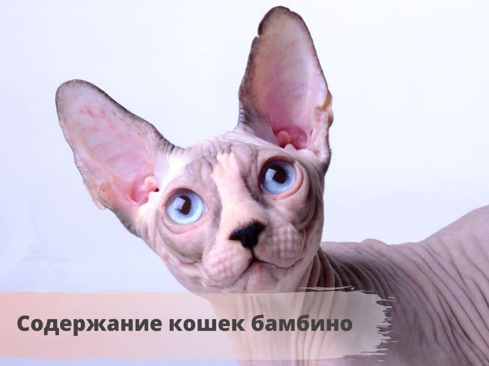 порода кошек бамбино фото