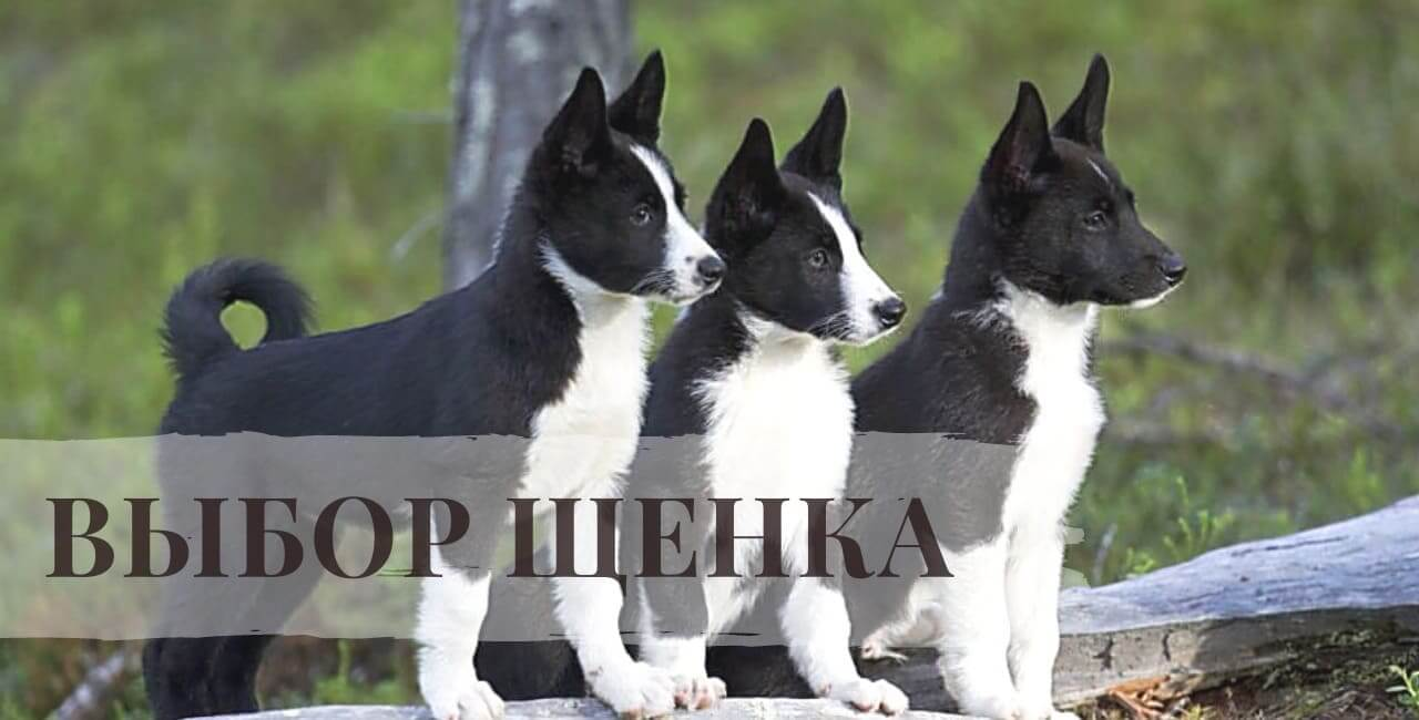Выбор щенка Русско-европейских лаек