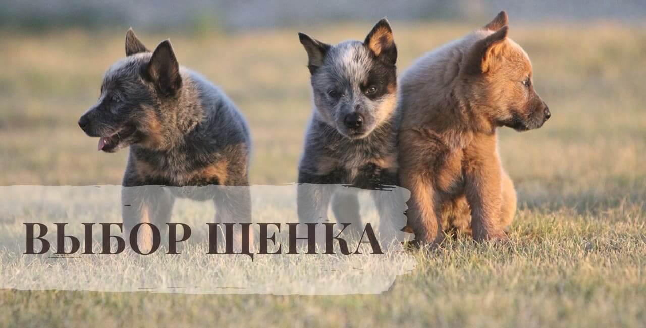 Выбор щенка Австралийской пастушьи собаки