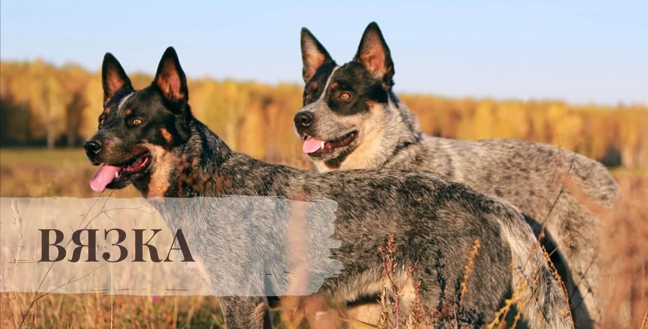 Вязка Австралийской пастушьи собаки