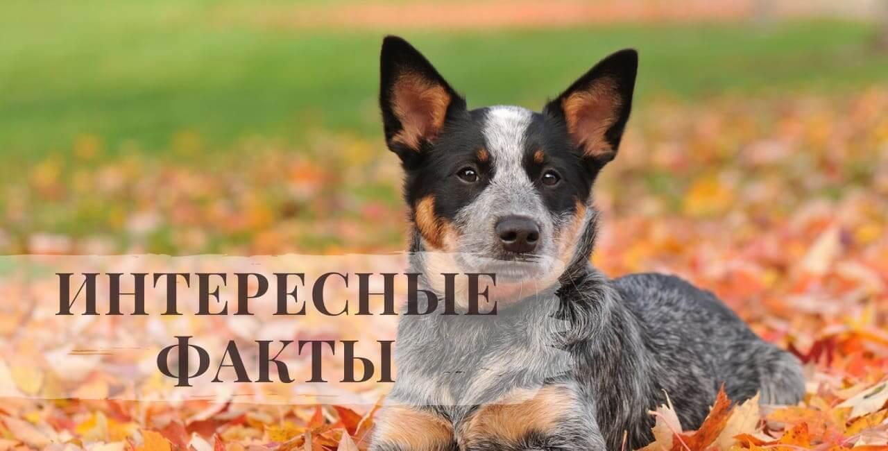 интересные факты об Австралийской пастушьей собаке