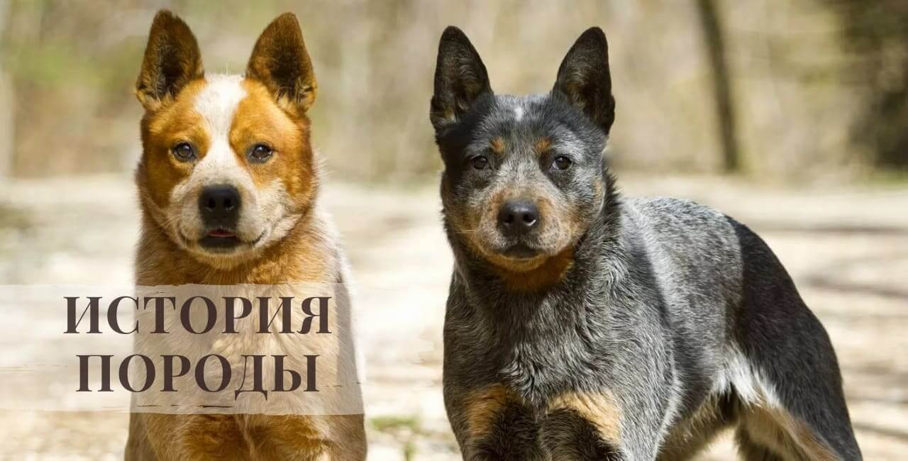 История породы Австралийской пастушьи собаки