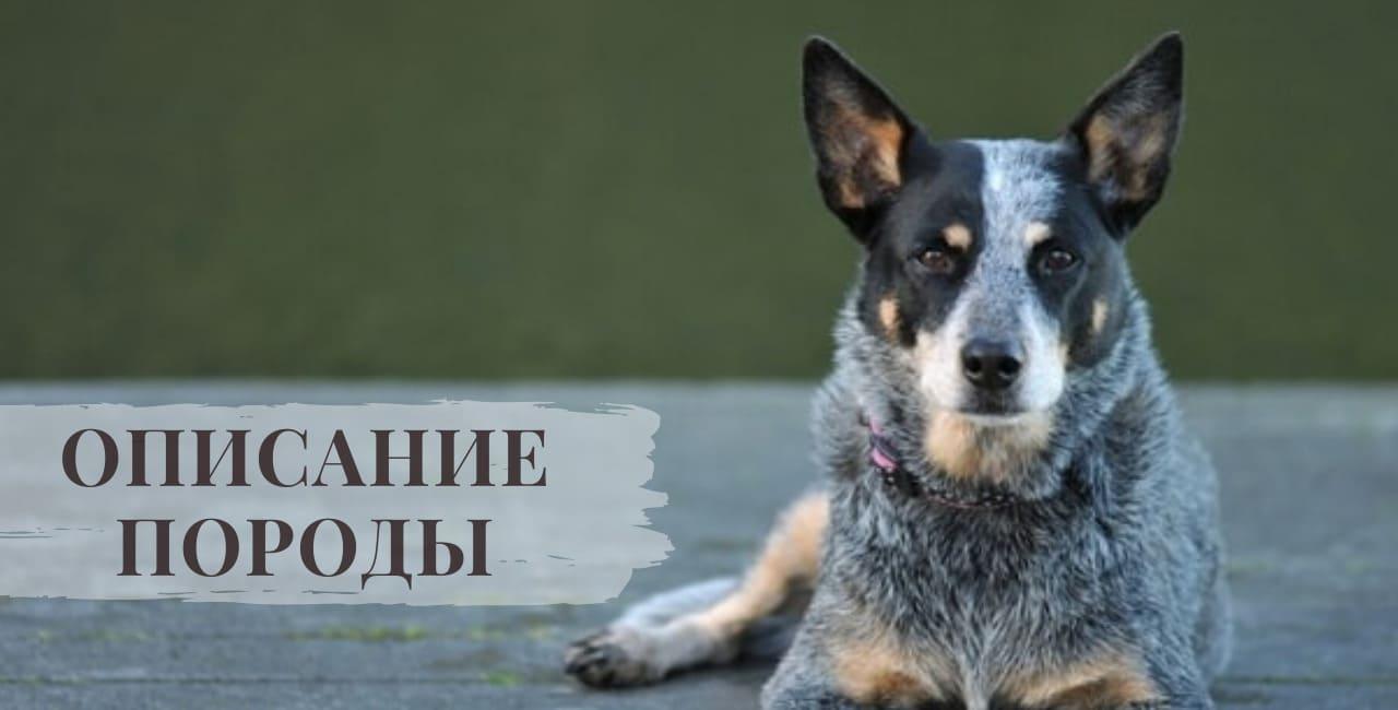 Описание породы Австралийской пастушьи собаки