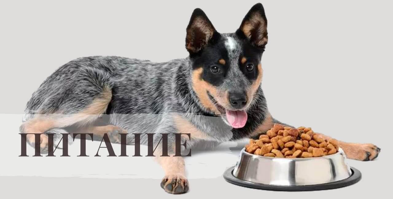 Питание Австралийской пастушьи собаки