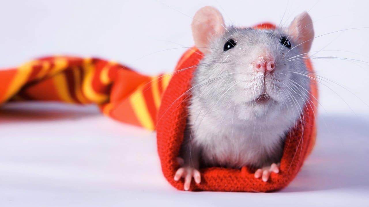 Правила содержания крысы