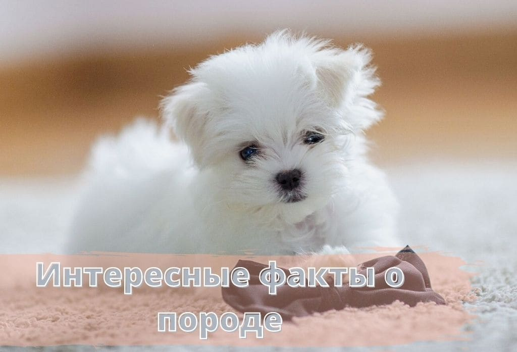 мальтезе собака фото