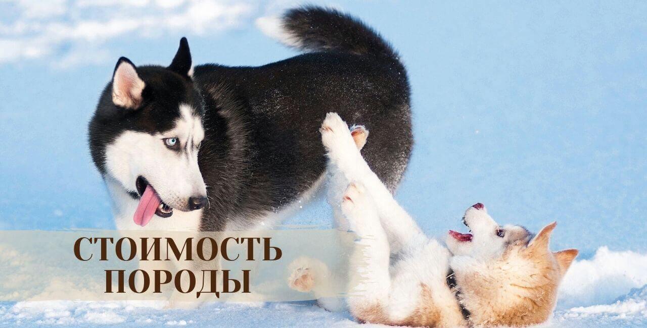Стоимость сибирской хаски
