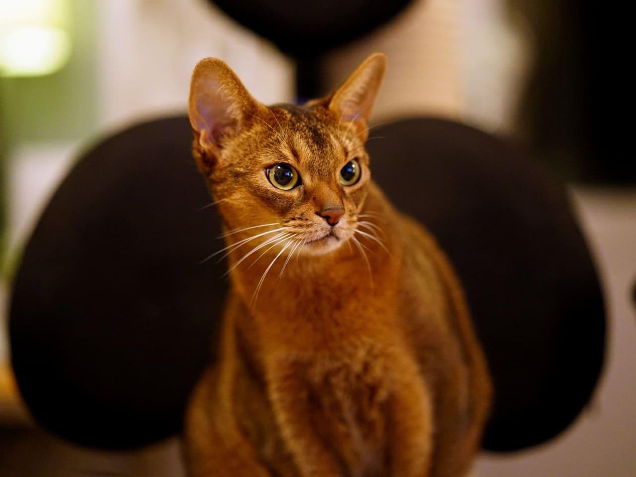 Содержание цейлонской кошки