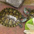 Как кормить красноухую черепаху