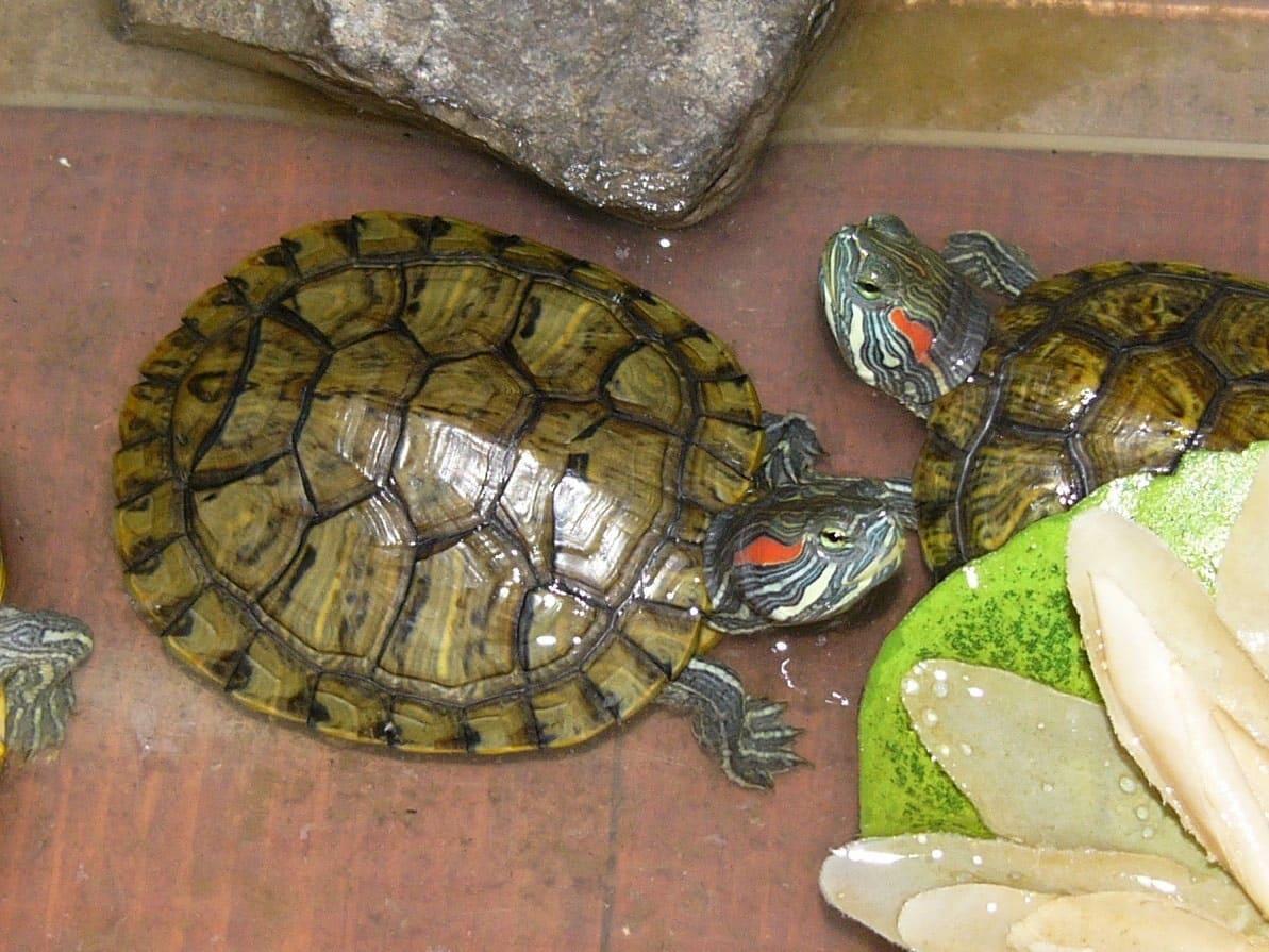 Питание красноухой черепахи