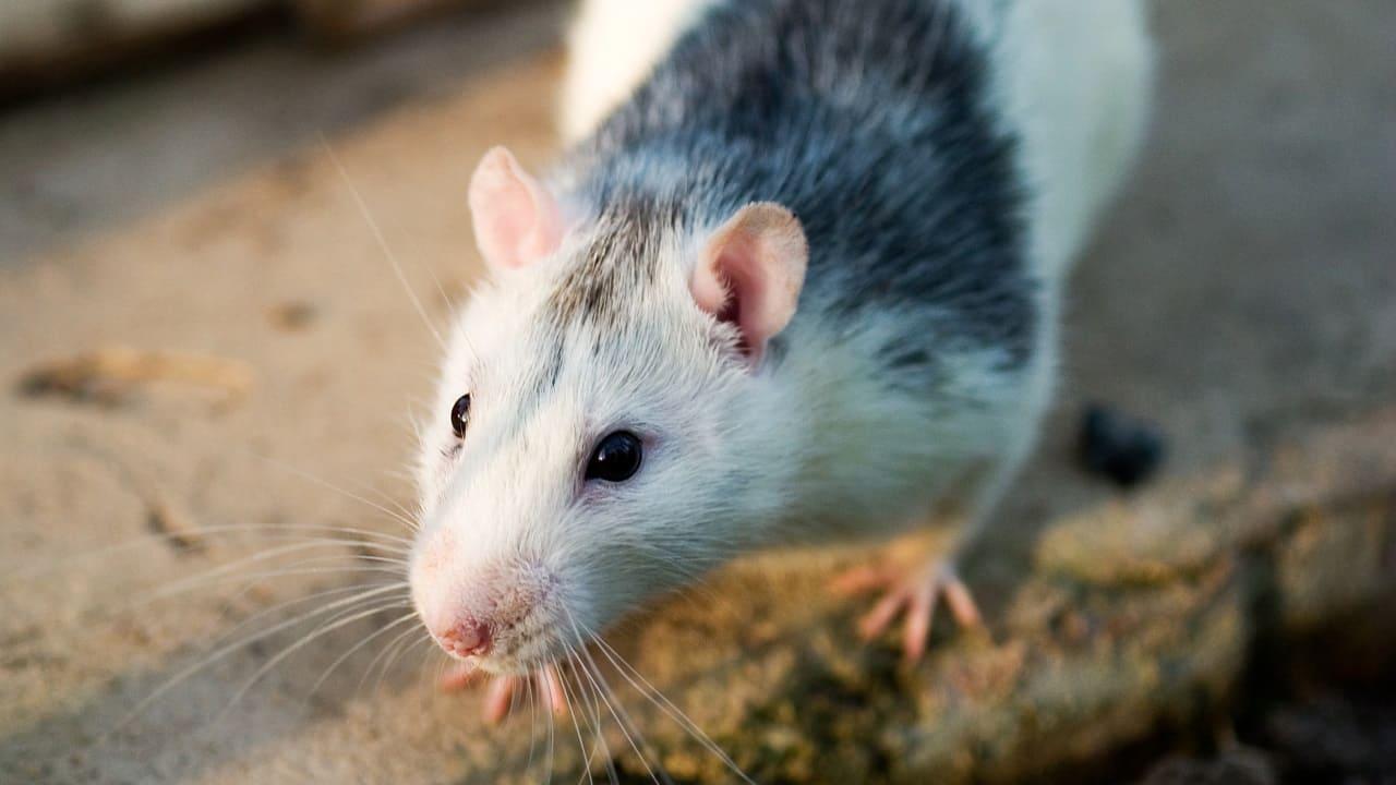 Сильные боли у крысы