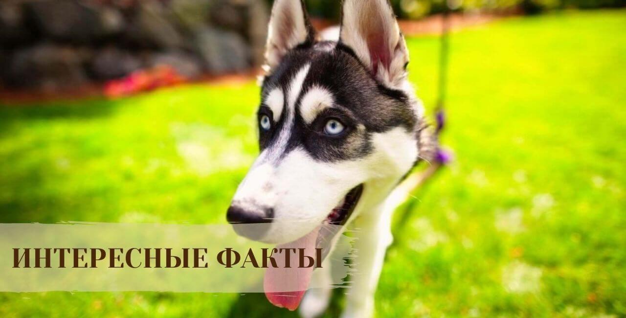 Интересные факты о Сибирской хаске