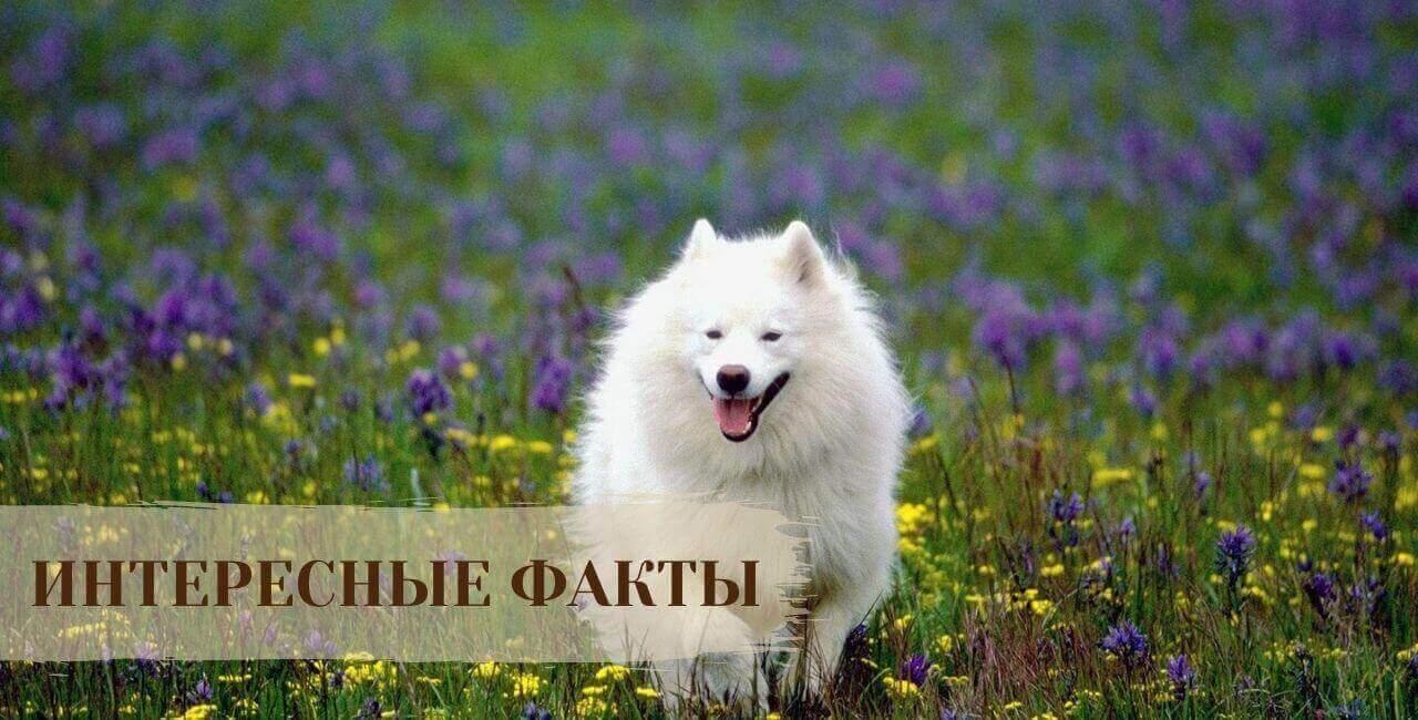 Интересные факты о История Самоедской собаке