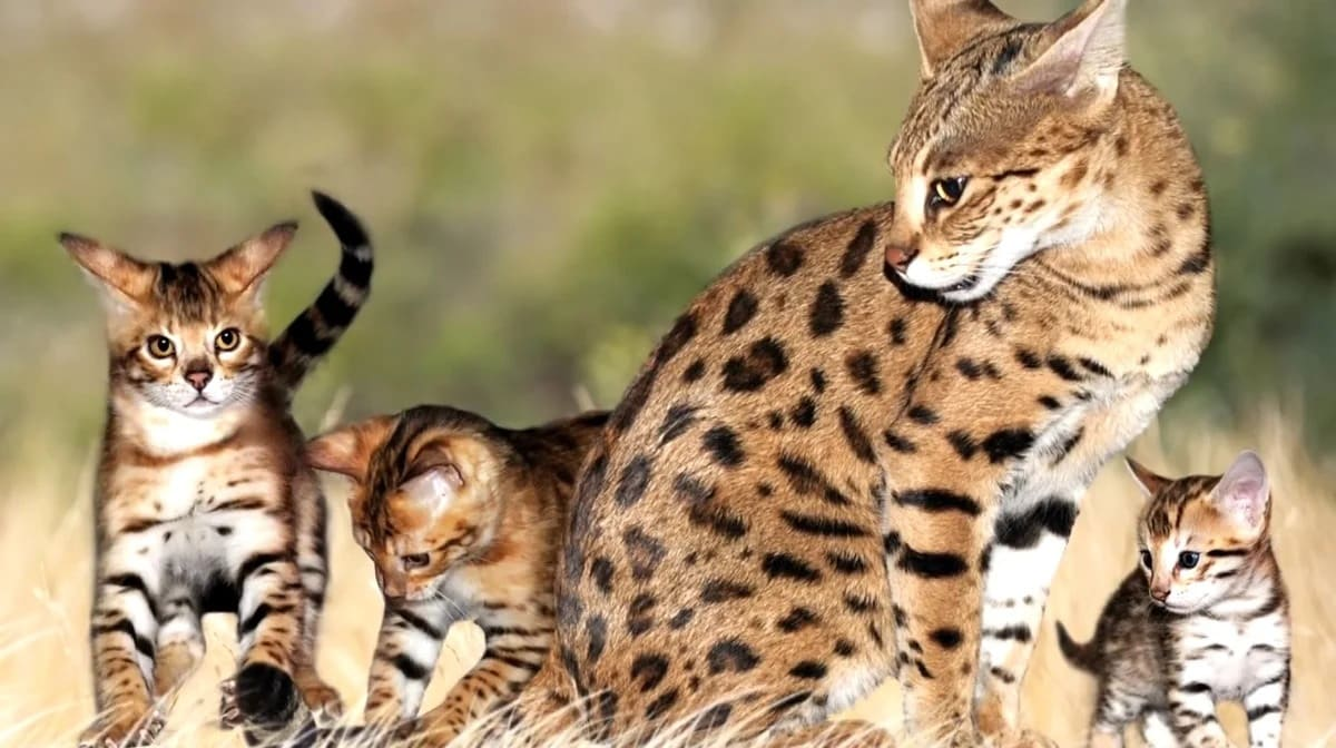 Особенности кошек саванн