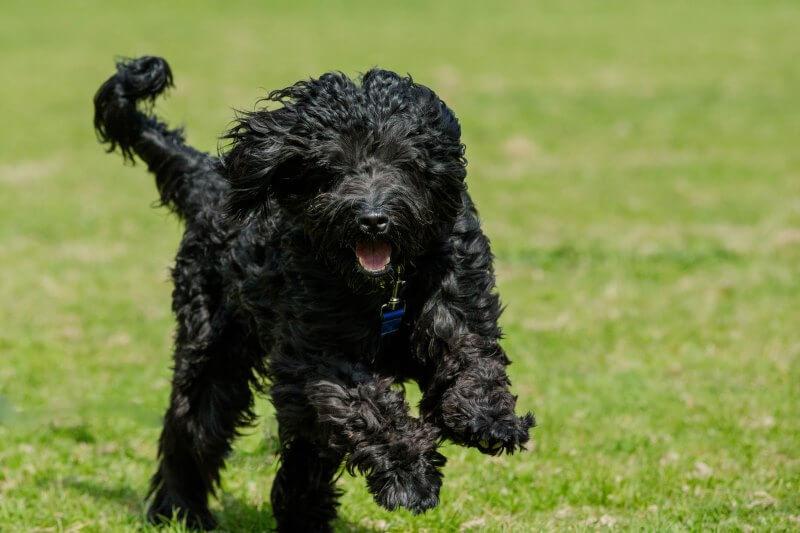 Характер португальской водяной собаки