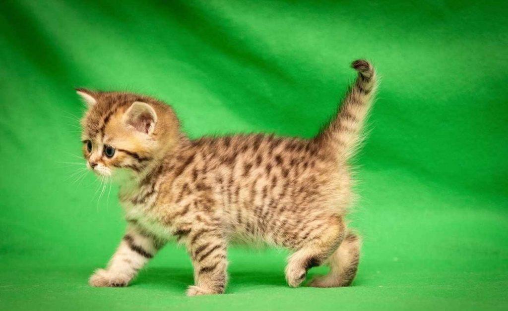 Воспитание уссурийский котят