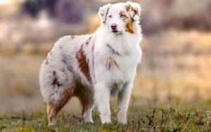 Аусси - австралийская овчарка