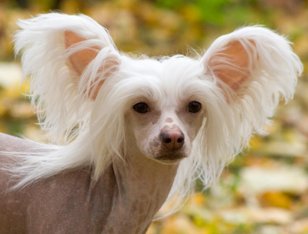 Китайская хохлатая собака: описание породы