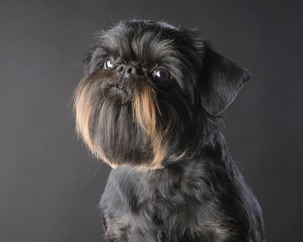 Малая бельгийская собака: содержание и уход