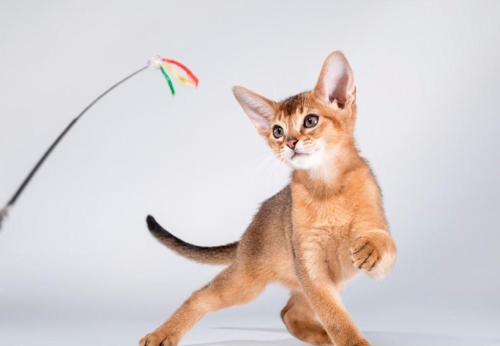 Абиссинская кошка: особенности дрессировки