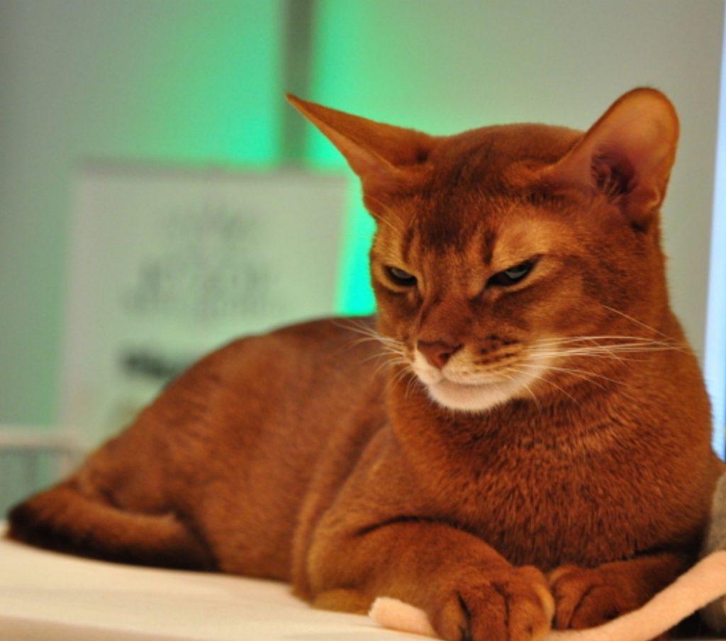 Абиссинская кошка: характерные заболевания