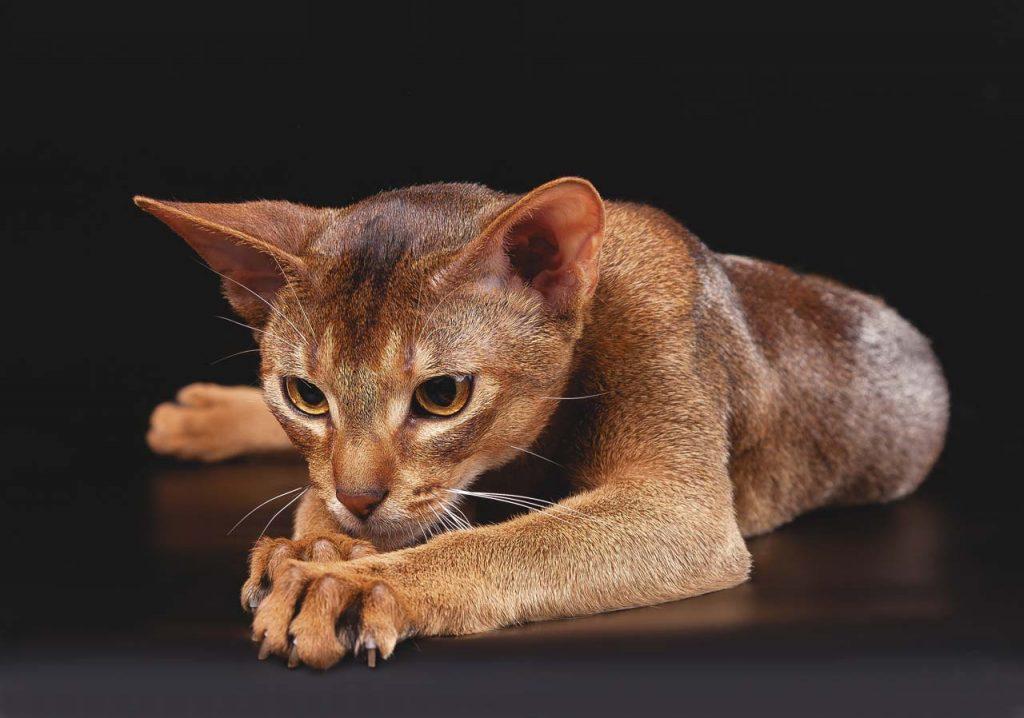 Характер и поведение абиссинской кошки