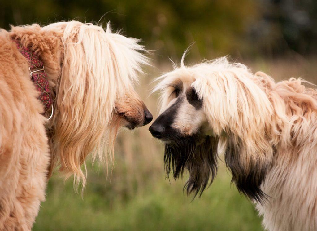 Афганская борзая: отношение к другим собакам