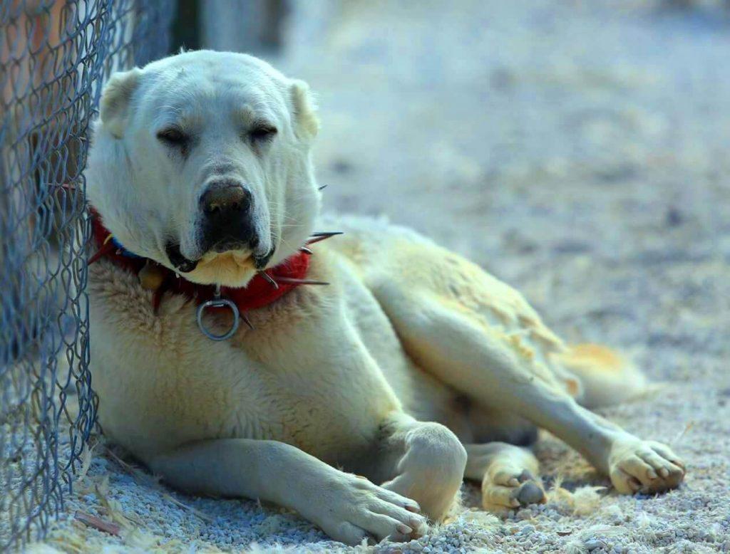 Акбашская собака - содержание и уход