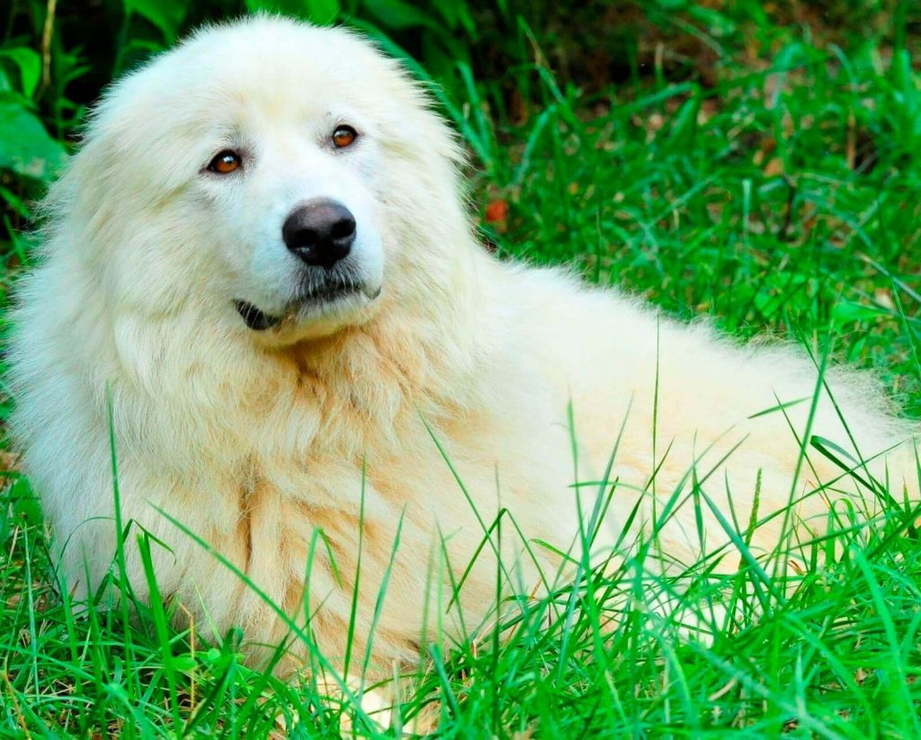 Акбашская собака - характер