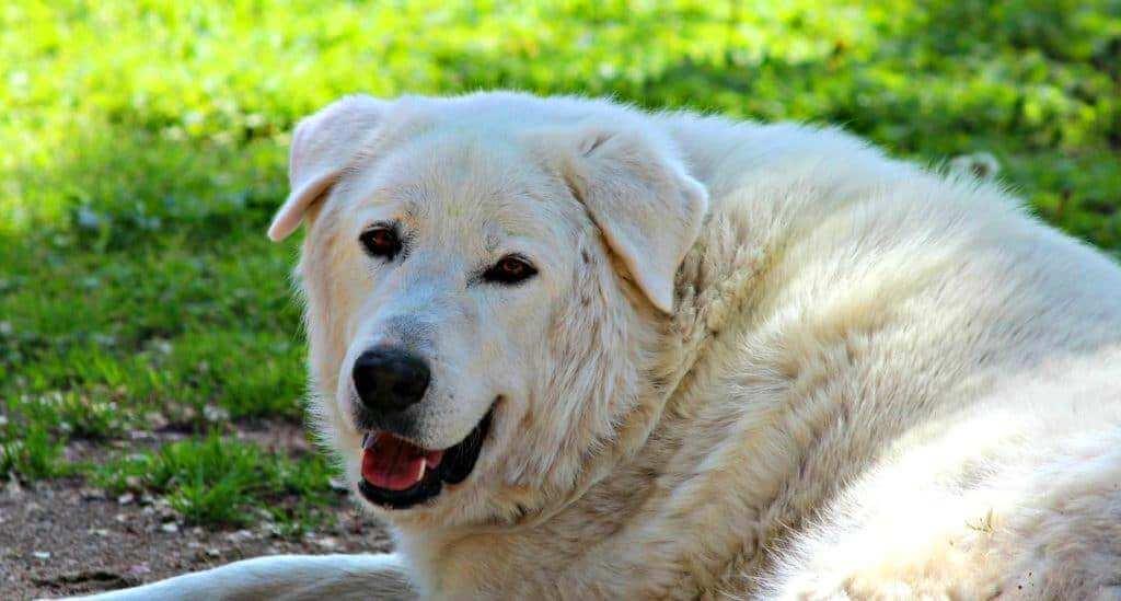 Акбашская собака - чем кормить