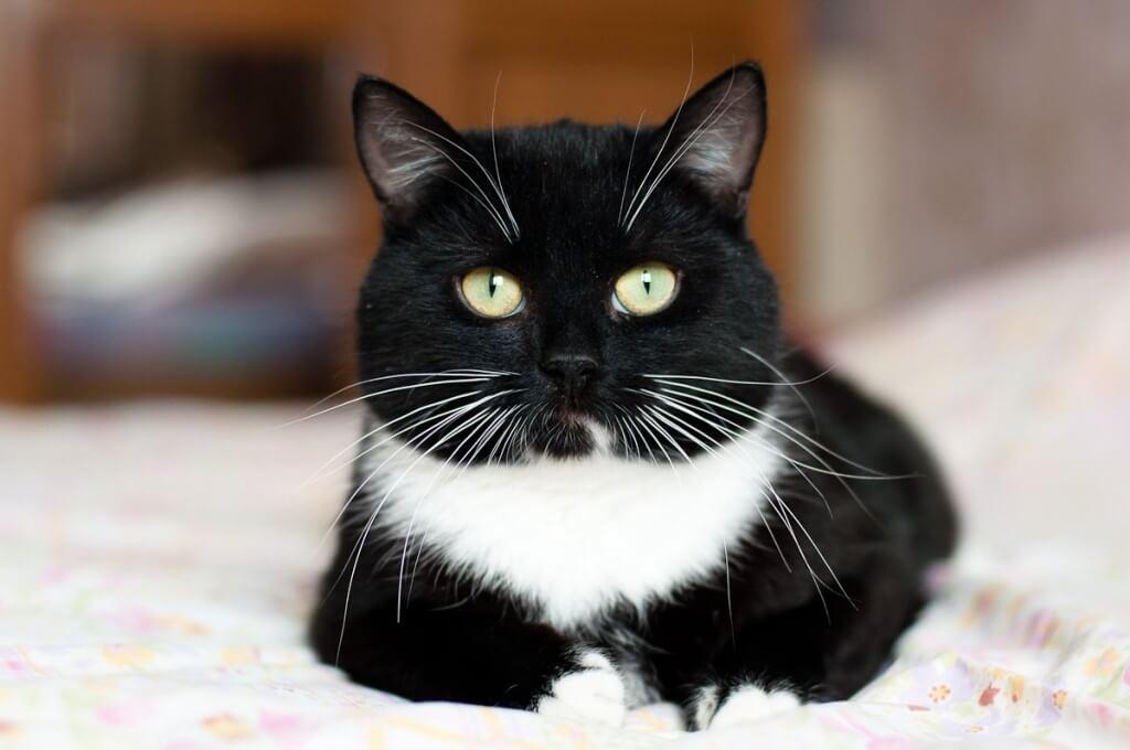 Акринская кошка фото
