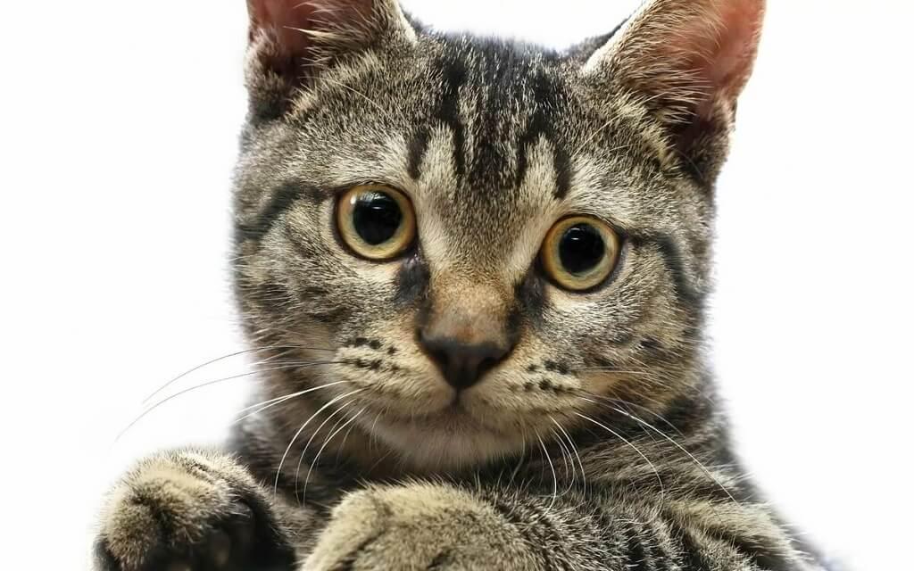 Внешний вид домашней кошки