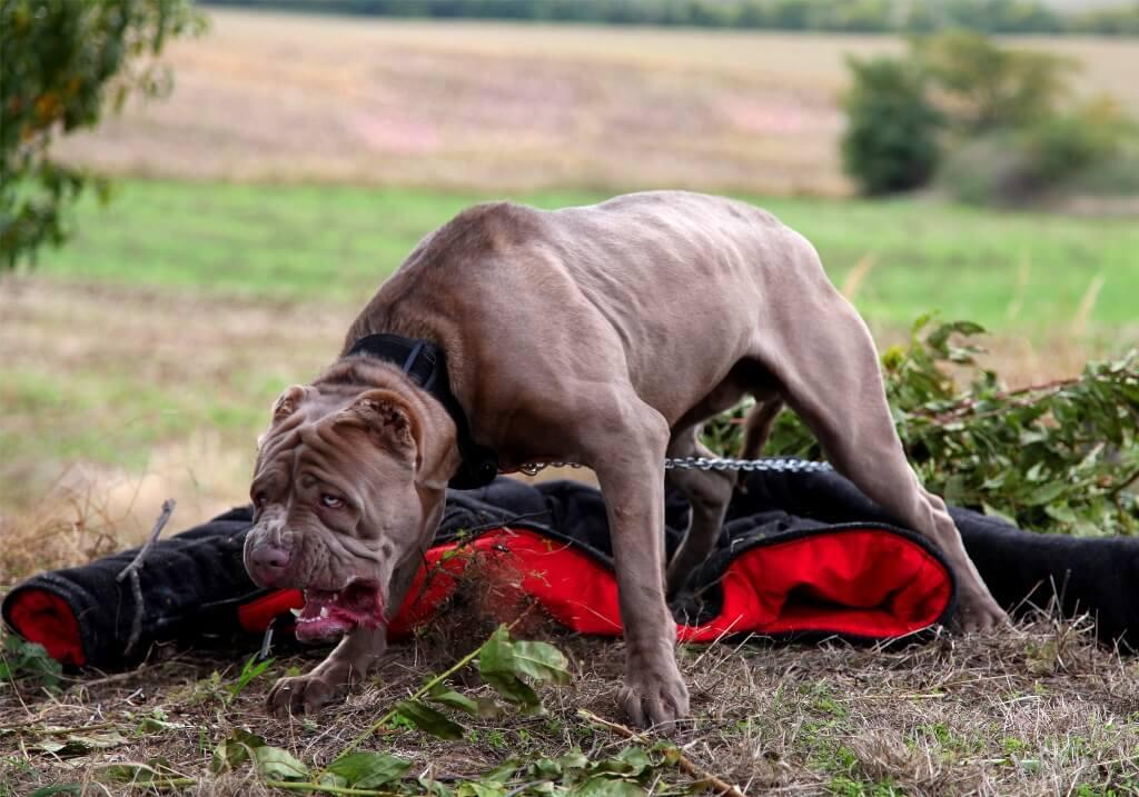 Боевая собака бандог