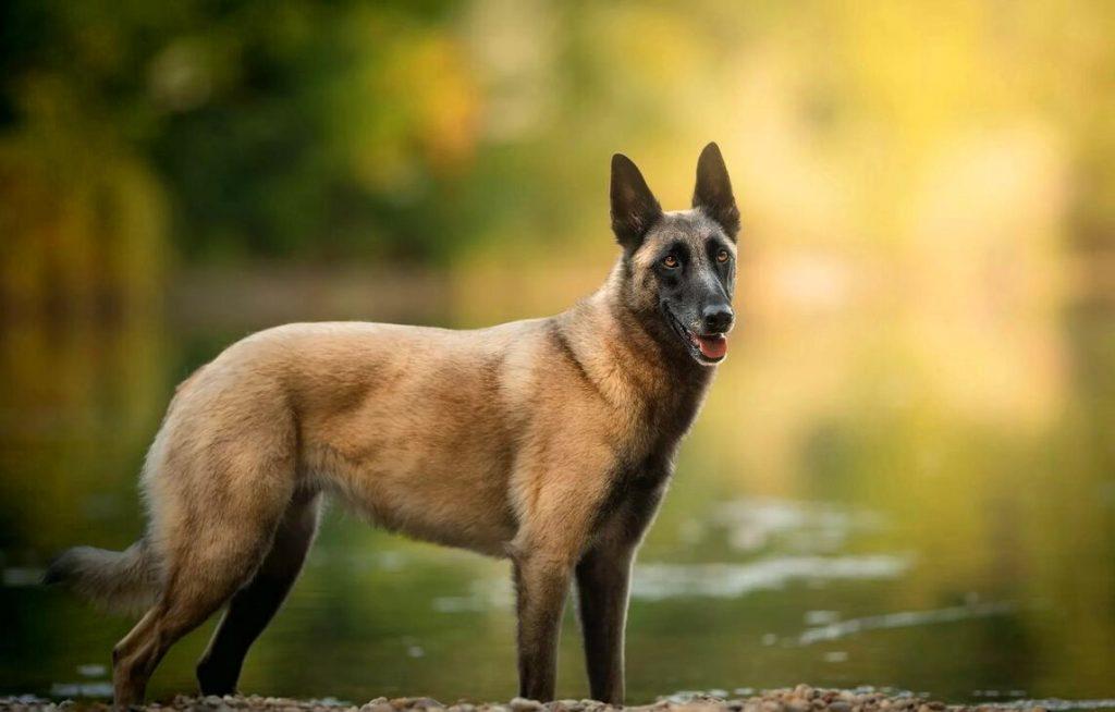 Стандарт породы Бельгийская овчарка
