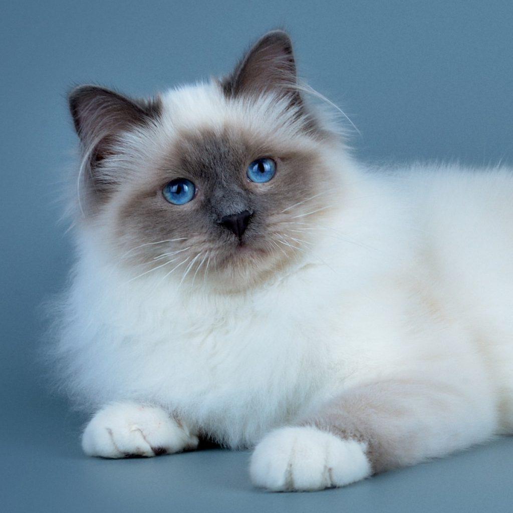 История происхождения бирманской кошки