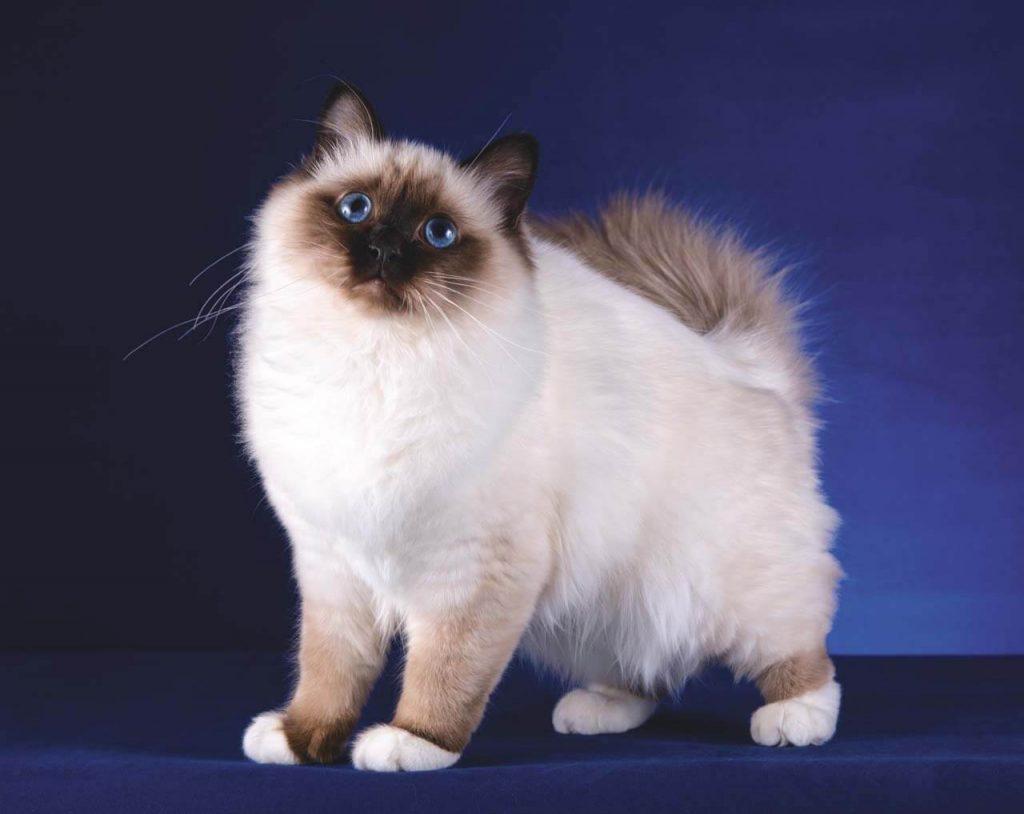 Описание бирманской кошки