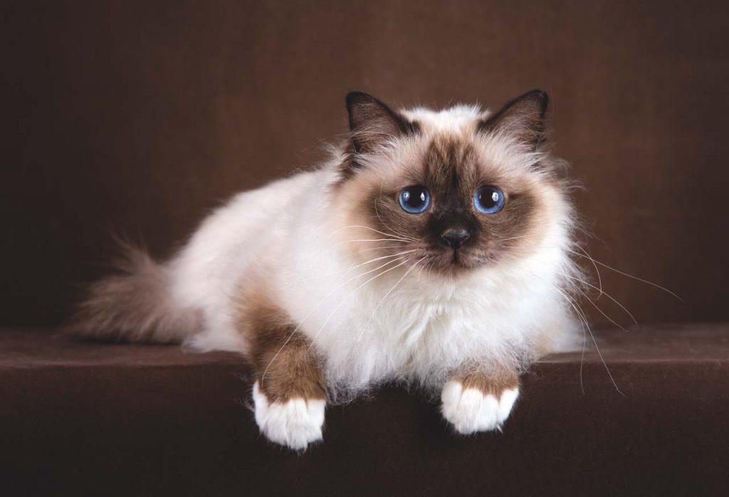 Характер бирманской кошки