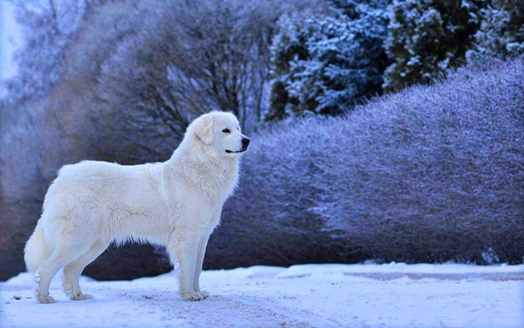 Пиренейская собака уход