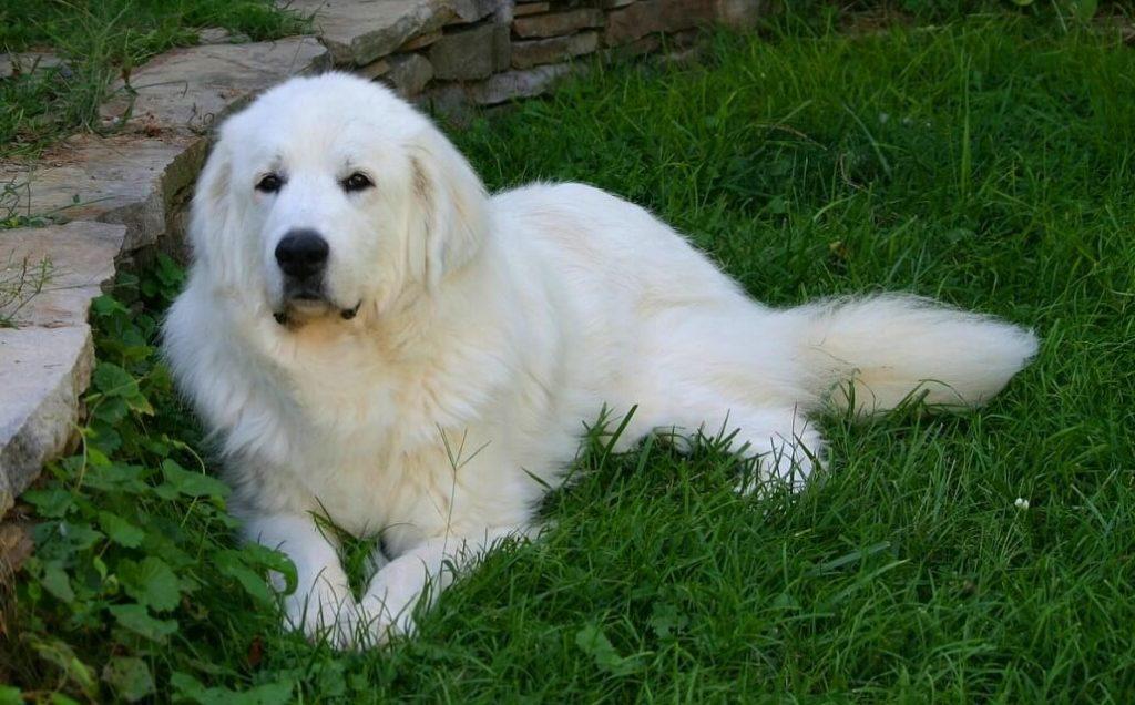 Пиренейская собака - отношение к членам семьи