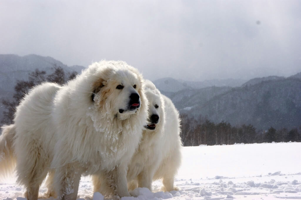 Характер пиренейской собаки