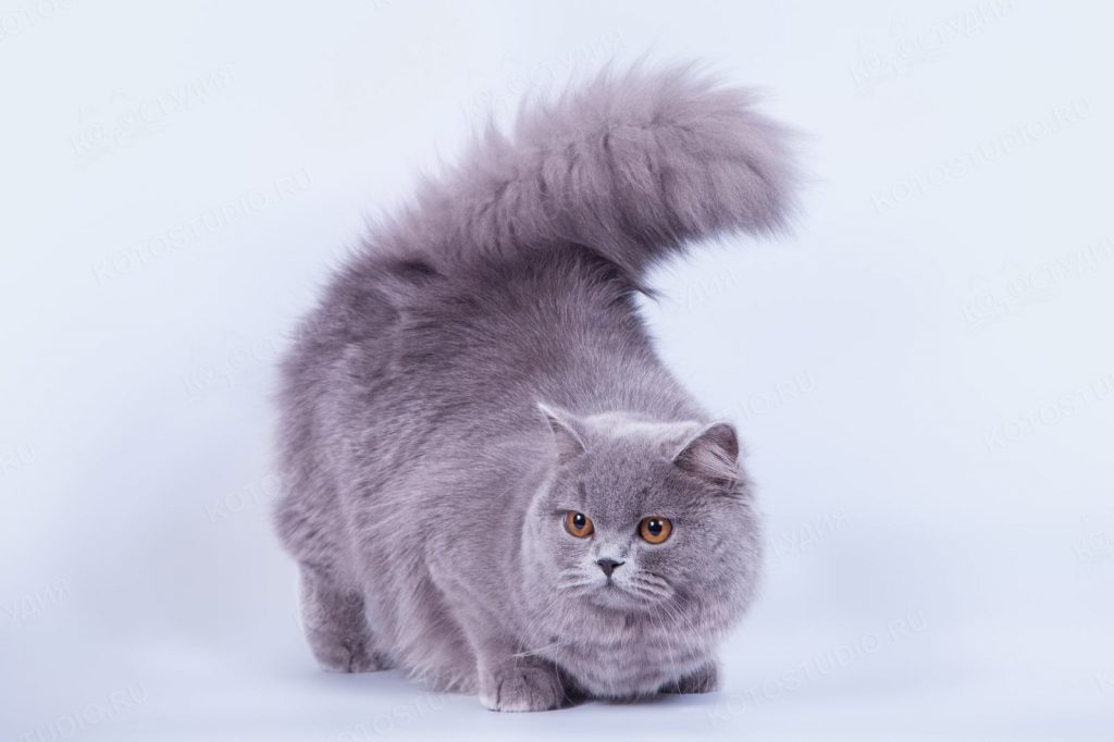 Характер британской длинношёрстной кошки