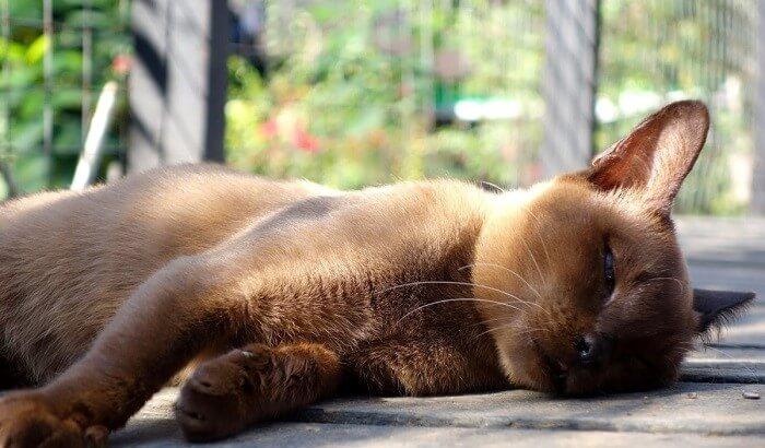 Бурманская кошка: особенности недугов