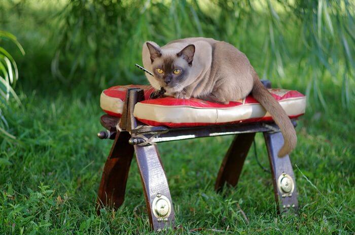 Бурманская кошка: дрессировка и воспитание