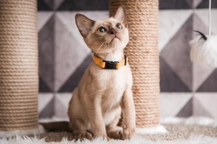 Бурманская кошка: воспитание