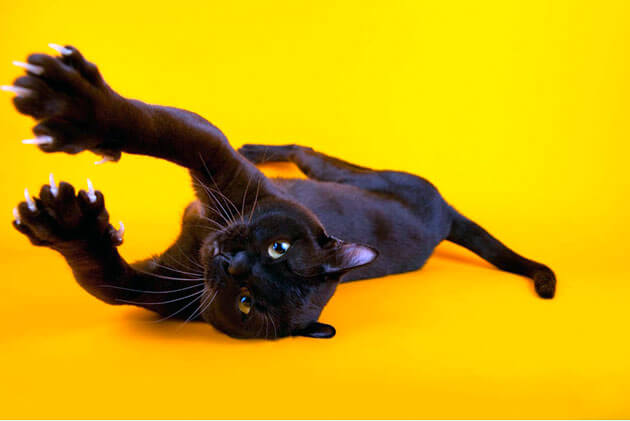 Бурманская кошка: дрессировка